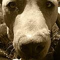 Roscoe Pitbull Eyes by Kym Backland