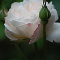Rose - White by Dickon Thompson