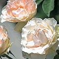 Rose 125 by Pamela Cooper
