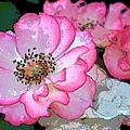 Rose 129 by Pamela Cooper