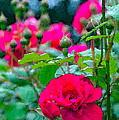Rose 132 by Pamela Cooper