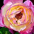 Rose 136 by Pamela Cooper