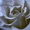 Rose 156 by Pamela Cooper
