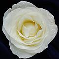 Rose 45 by Terri Winkler