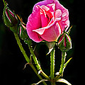 Rose And Buds by Robert Bales