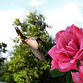 Rose And Rufous by Joyce Dickens
