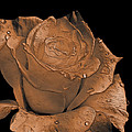 Rose Art  Sepia by Debbie Portwood