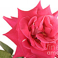 Rose Blooming by Ted Kinsman