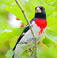 Rose-breasted Grosbeak by Andrew McInnes
