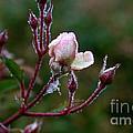 Rose Candelabra by Susan Herber