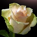 Rose Drops by Gitpix