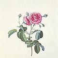 Rose Dutch Hundred Leaved Rose by Georg Dionysius Ehret