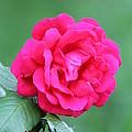 Rose by Edward Gallegos