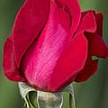 Rose Flower Series 1 by Heiko Koehrer-Wagner