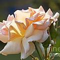 Rose Flower Series 15 by Heiko Koehrer-Wagner