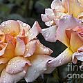 Rose Flower Series 7 by Heiko Koehrer-Wagner