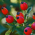 Rose Hips by Mick Anderson