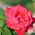 Rose In The Morninglight by Maria Urso