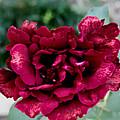 Rose by Joe Mcgregor