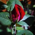 Rose by Linda Tiepelman