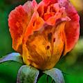 Rose by Lynne Jenkins