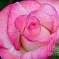 Rose Macro by Byron Varvarigos