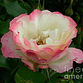 Rose by Mark Gilman