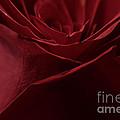 Rose Petals by Mitch Shindelbower