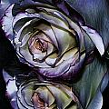 Rose Reflection 2 by Marianne Troia