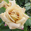 Rose Rosa Sp Honey Dijon Variety Flowers by VisionsPictures