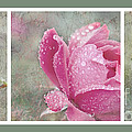 Rose Triptych 11 by Betty LaRue