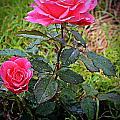 Rose Vignette by Barbara Griffin