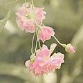 Rose Vine by Kim Hojnacki