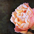 Rose With Dewdrops by Marion McCristall