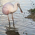 Roseate Spoonbill 2 by Andrea  OConnell