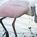 Roseate Spoonbill 3 by Andrea  OConnell