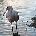 Roseate Spoonbill by Andrea  OConnell