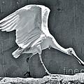 Roseate Spoonbill Landing by Carol  Bradley