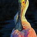 Roseate Spoonbill Preening by Dave Mills
