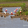 Roseate Spoonbills And Snowy Egrets by Louise Heusinkveld