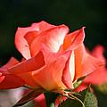 Rosebud Folklore by Susan Herber