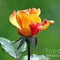 Rosebud by Jack Schultz
