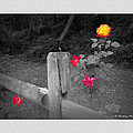 Roses And Fence by Brian Wallace
