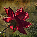 Roses Are Red With A Bit Of Grunge by Kathy Clark