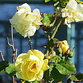 Roses At The Shore by Loretta Pokorny