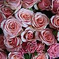 Roses Galore by Margaret Bobb