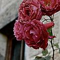 Roses In Napa by Lori Leigh