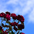 Roses In The Sky by Bonnie Myszka