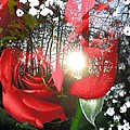 Rosesredred by Anastasia Pellerin
