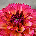 Rosy Dahlia by Susan Herber